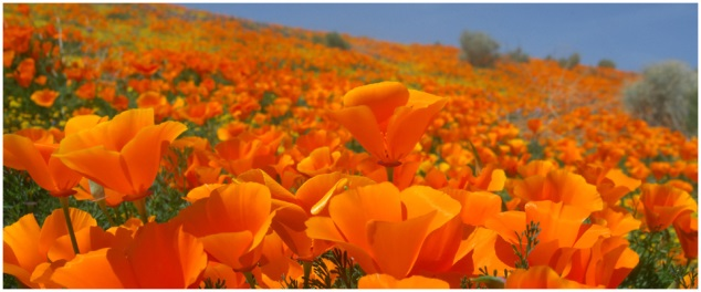 California Poppies: Wildflowers of the Southwest